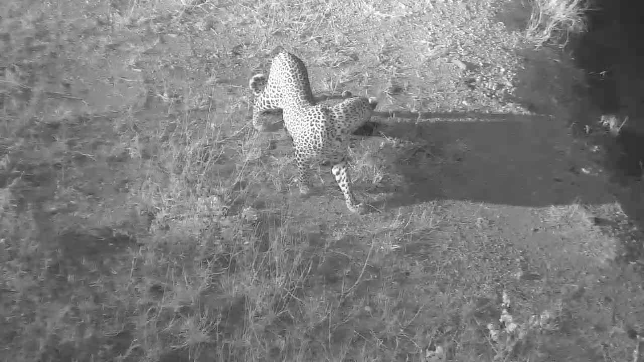 VIDEO: LEOPARD strolling by the waterhole