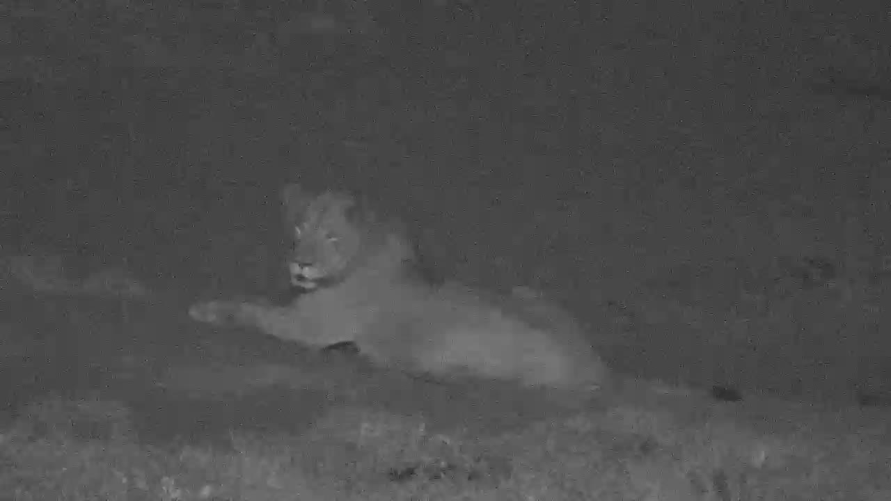 VIDEO:  Male LIONS relaxing yet alert