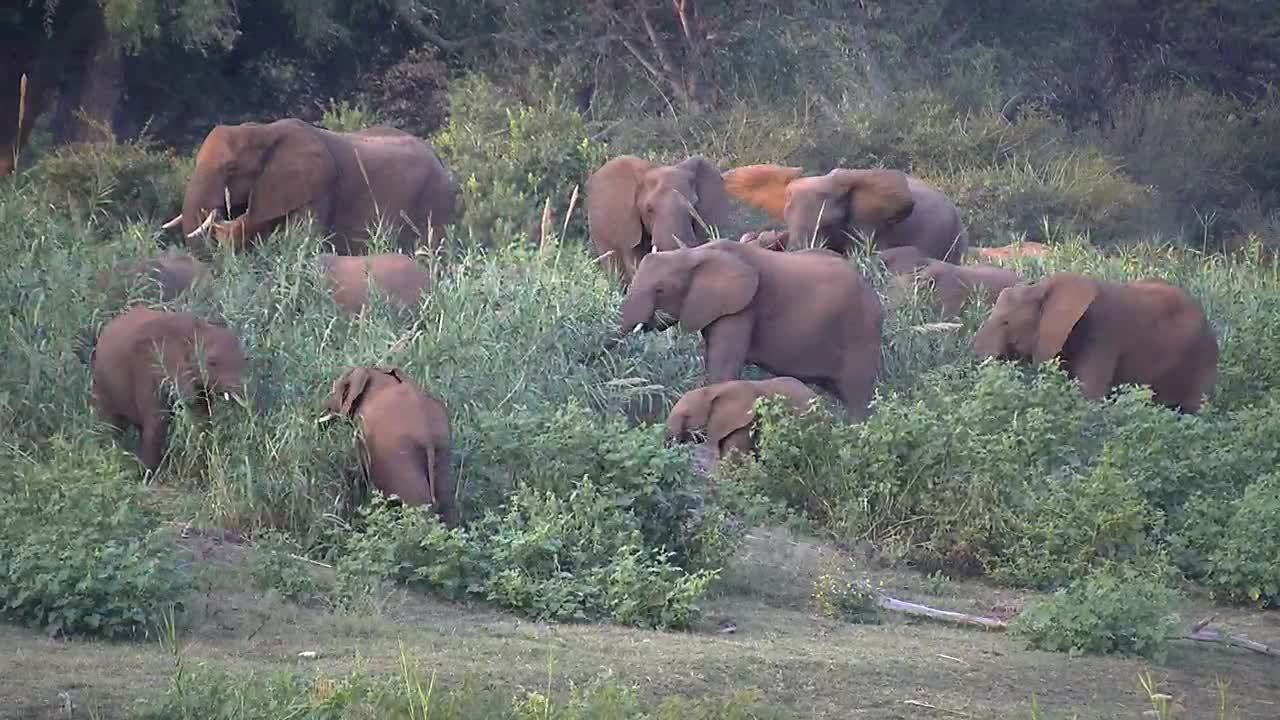 VIDEO: Elephants grazing on the banks of the river