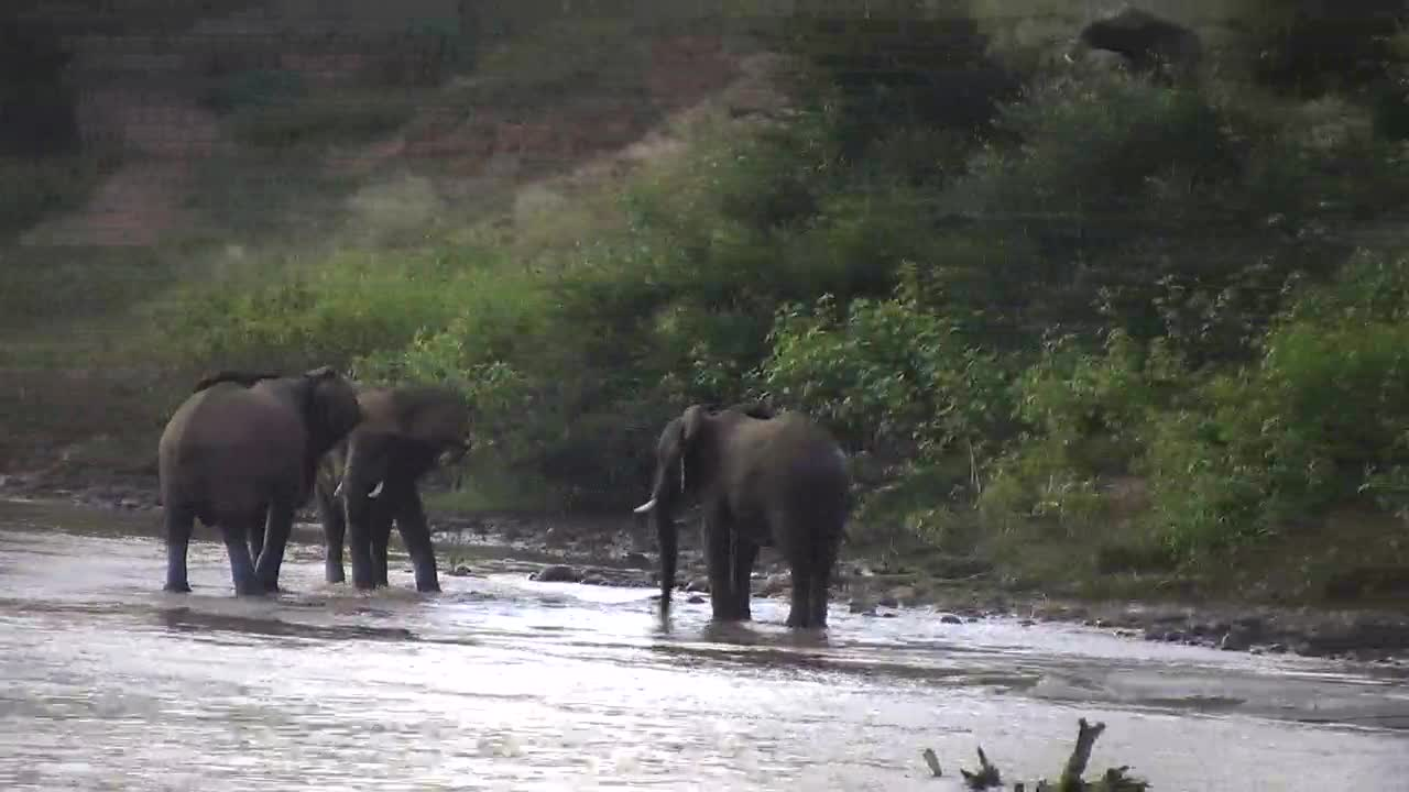 VIDEO:  ELEPHANTS wading in the river