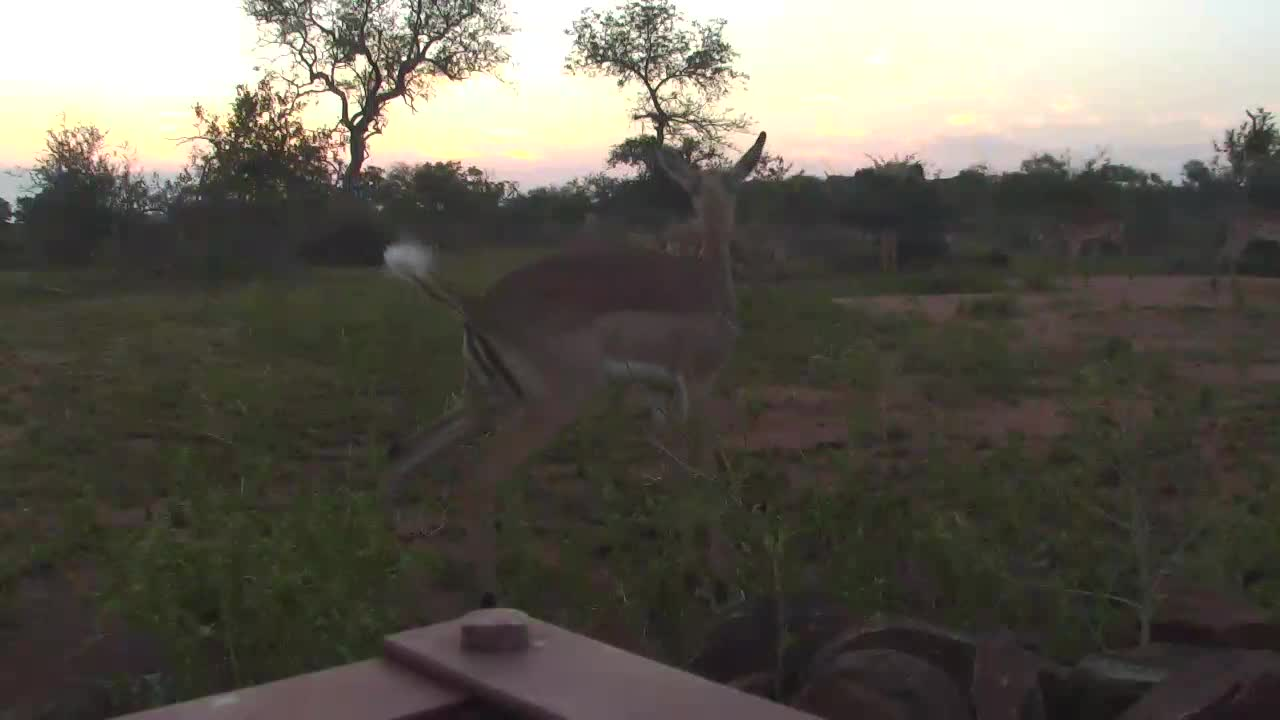 VIDEO:  IMPALA - grooming and eating