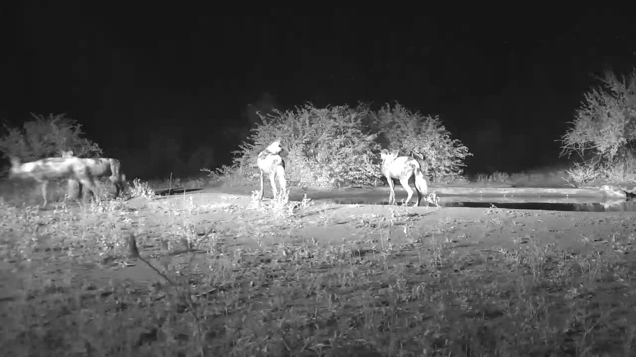 VIDEO:  WILD DOGS walking by the waterhole