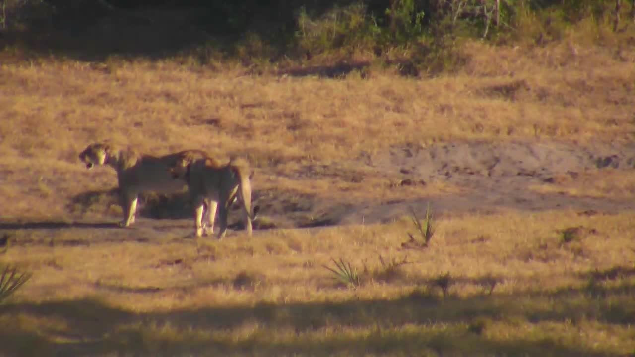 VIDEO: Lions at Tembe