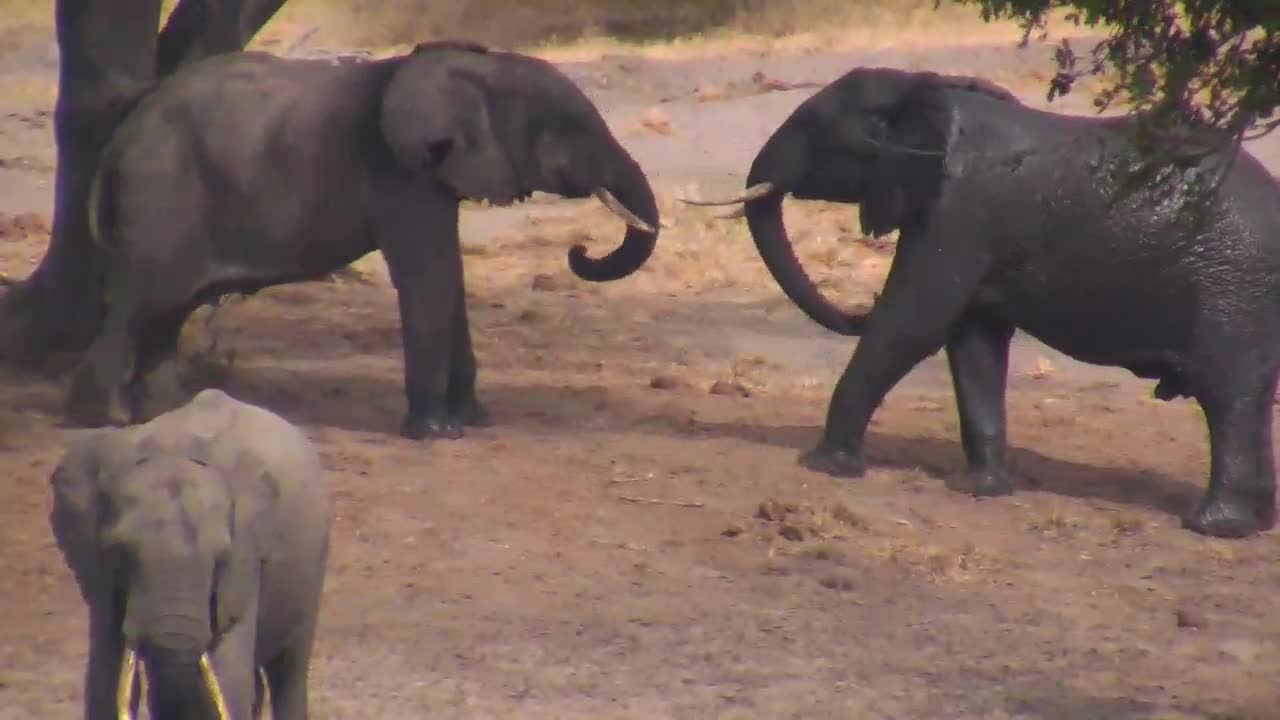VIDEO: Young Elephant Bulls wrangling