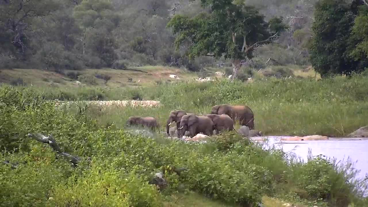 VIDEO: Small elephant herd crossing the river