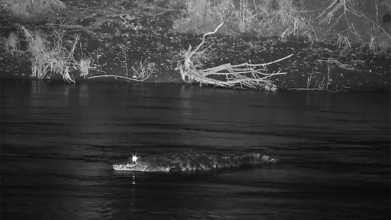 VIDEO:  Nile Crocodile