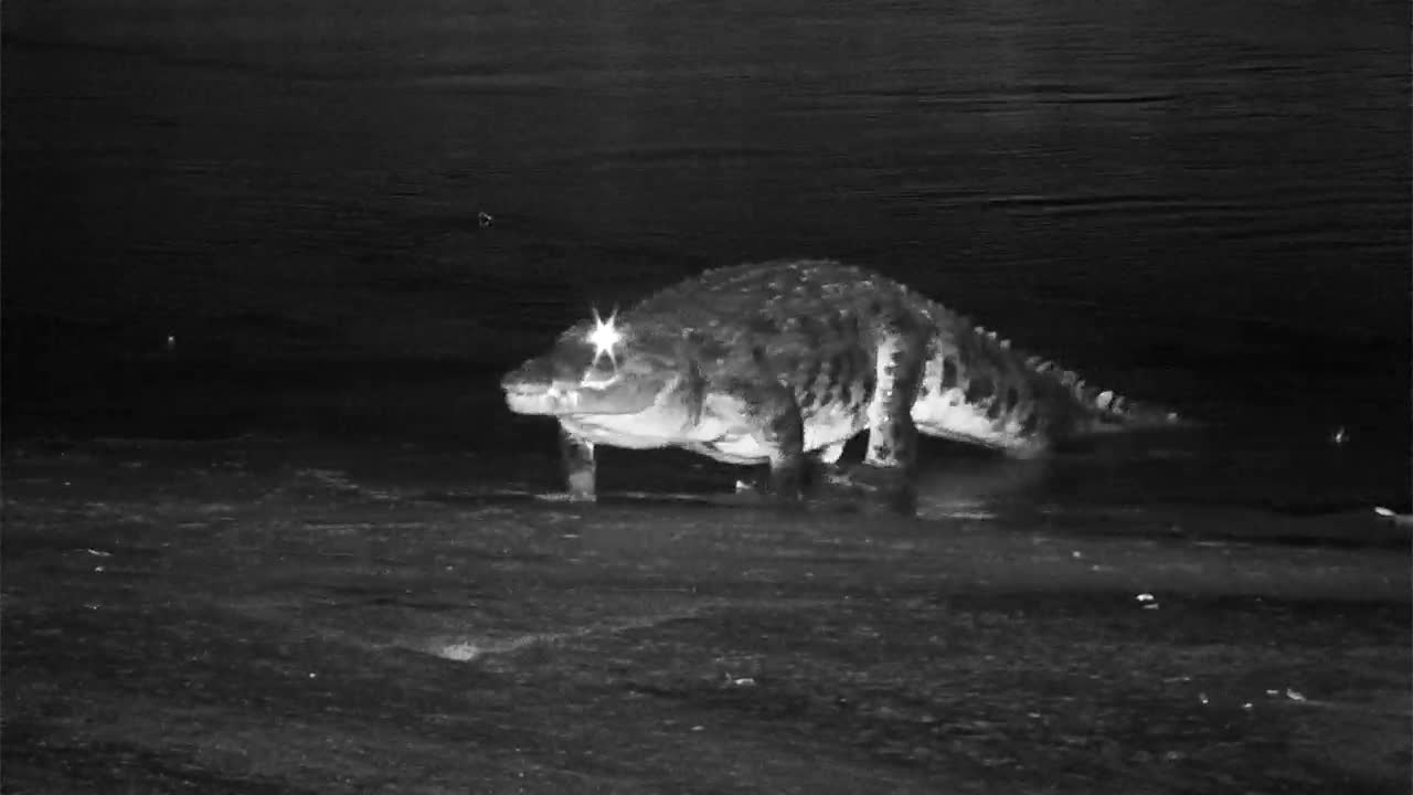 VIDEO:  Nile Crocodile on the move in the Africam Night