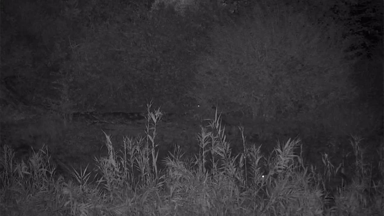 VIDEO:  Civet