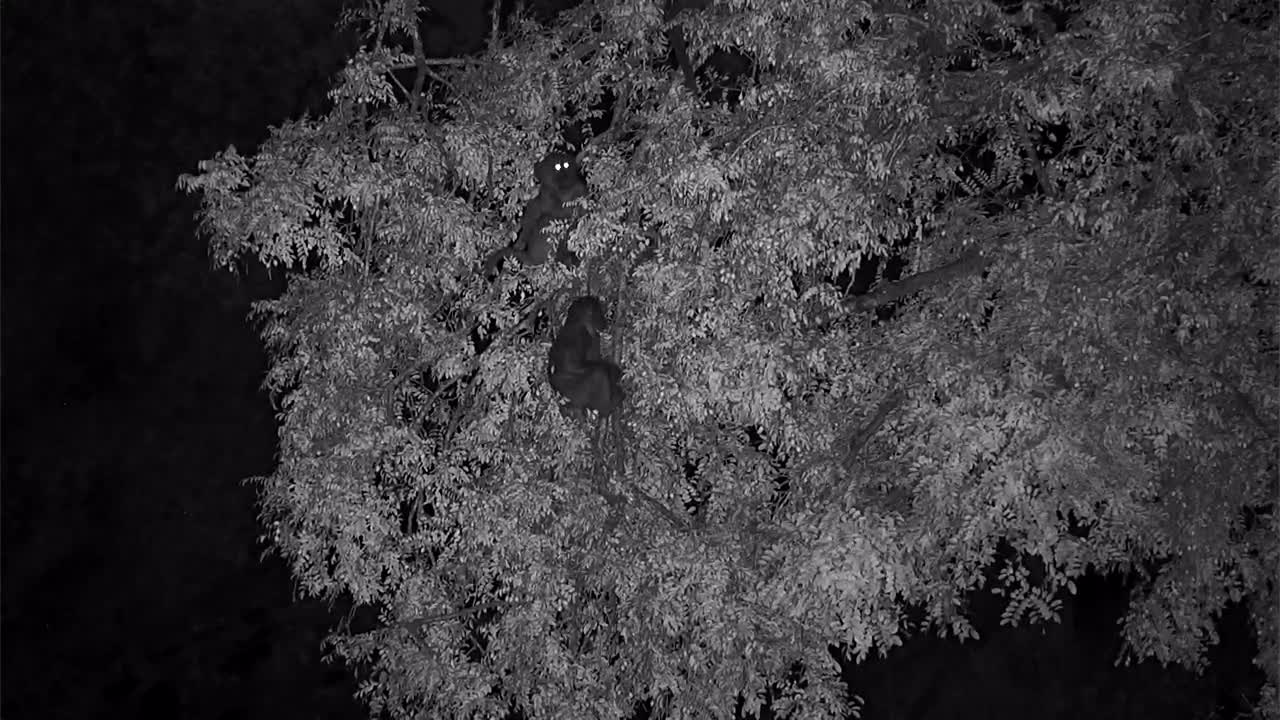 VIDEO:  Baboons in the Tree