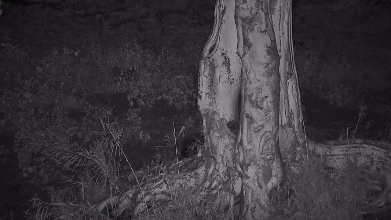 VIDEO: Porcupine moving around in the dark of night
