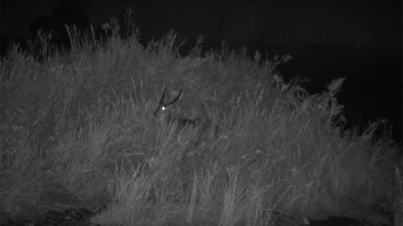 VIDEO:  WATERBUCKS grazing in the high grass