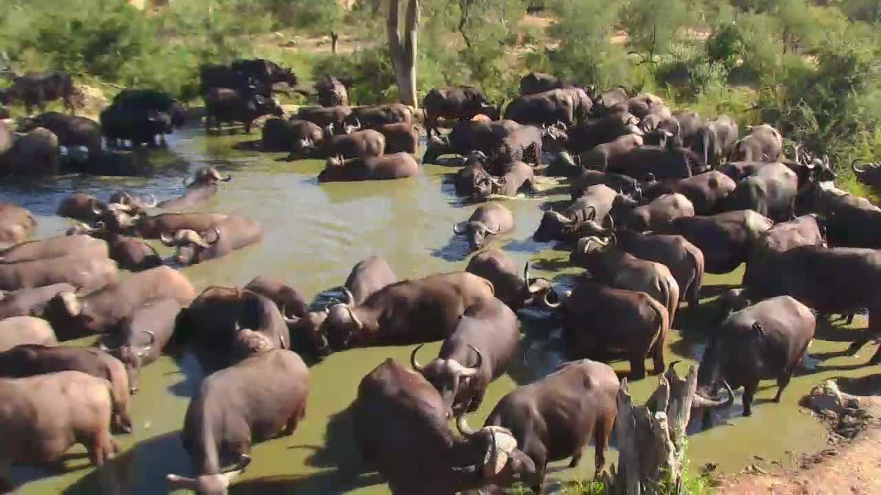 VIDEO: Herd of Cape Buffalos cooling off at the waterhole PT1