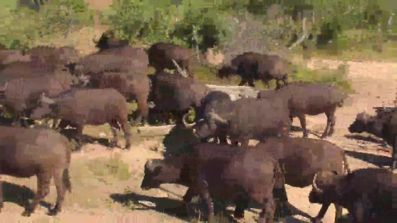 VIDEO: Herd of Cape Buffalos cooling off and leaving PT2