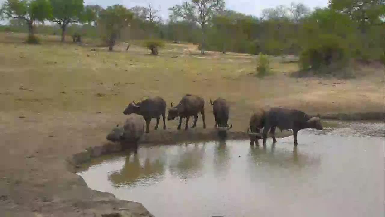 VIDEO: Cape Buffalo At Nkorho