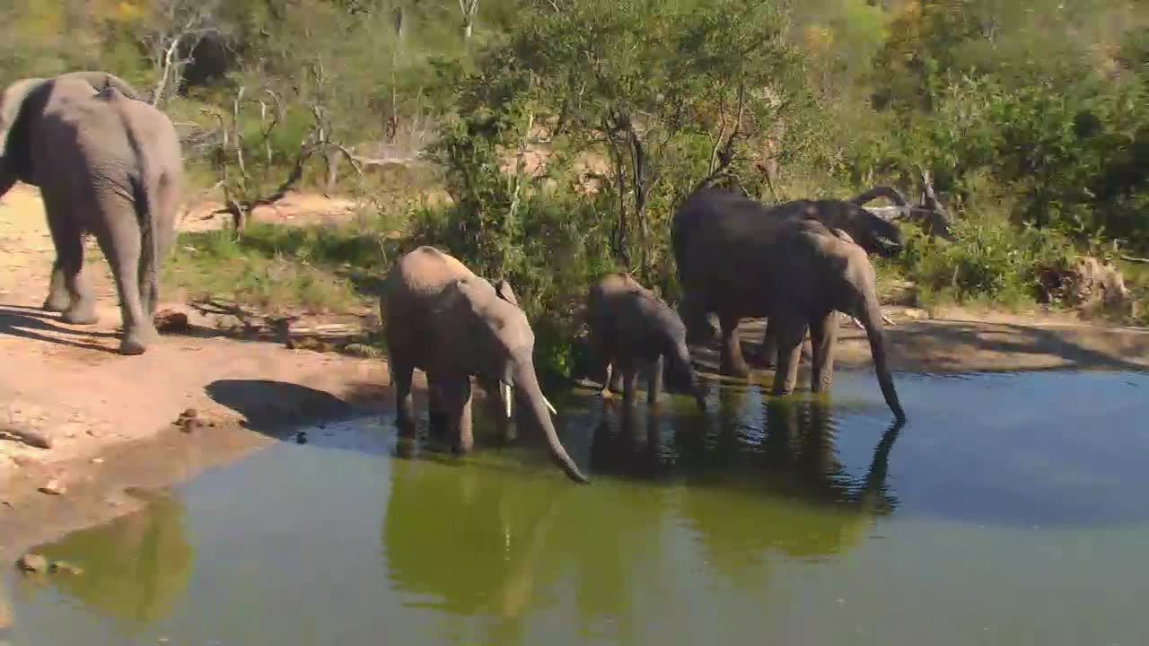 VIDEO: Elephant breeding herd with young ones came for a drink PT 2
