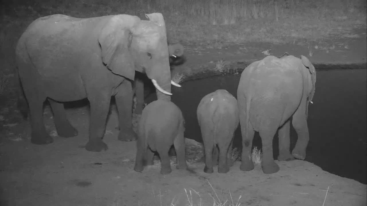 VIDEO: Small Breeding Herd of Elephants came for a drink to the waterhole.