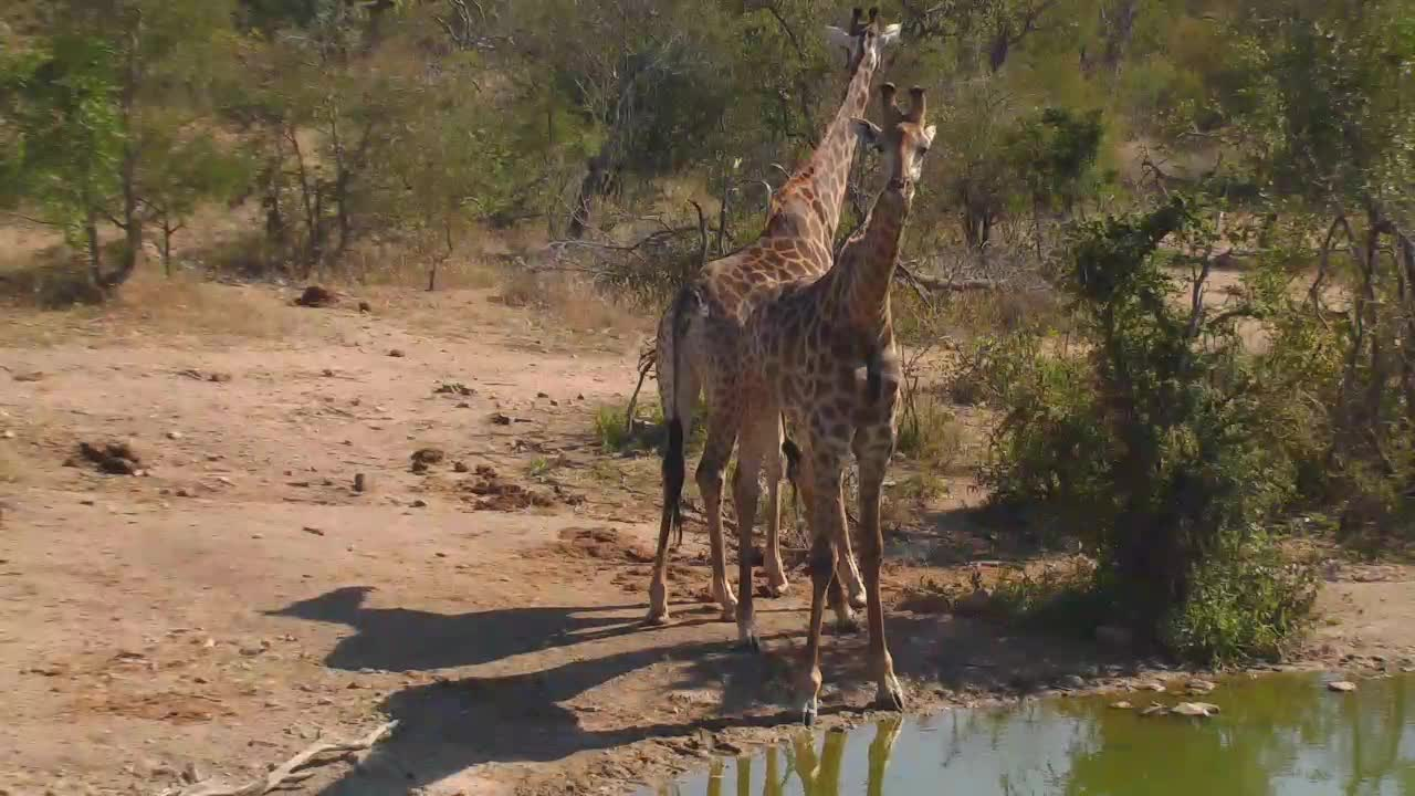 VIDEO:Giraffes drinking at Naledi