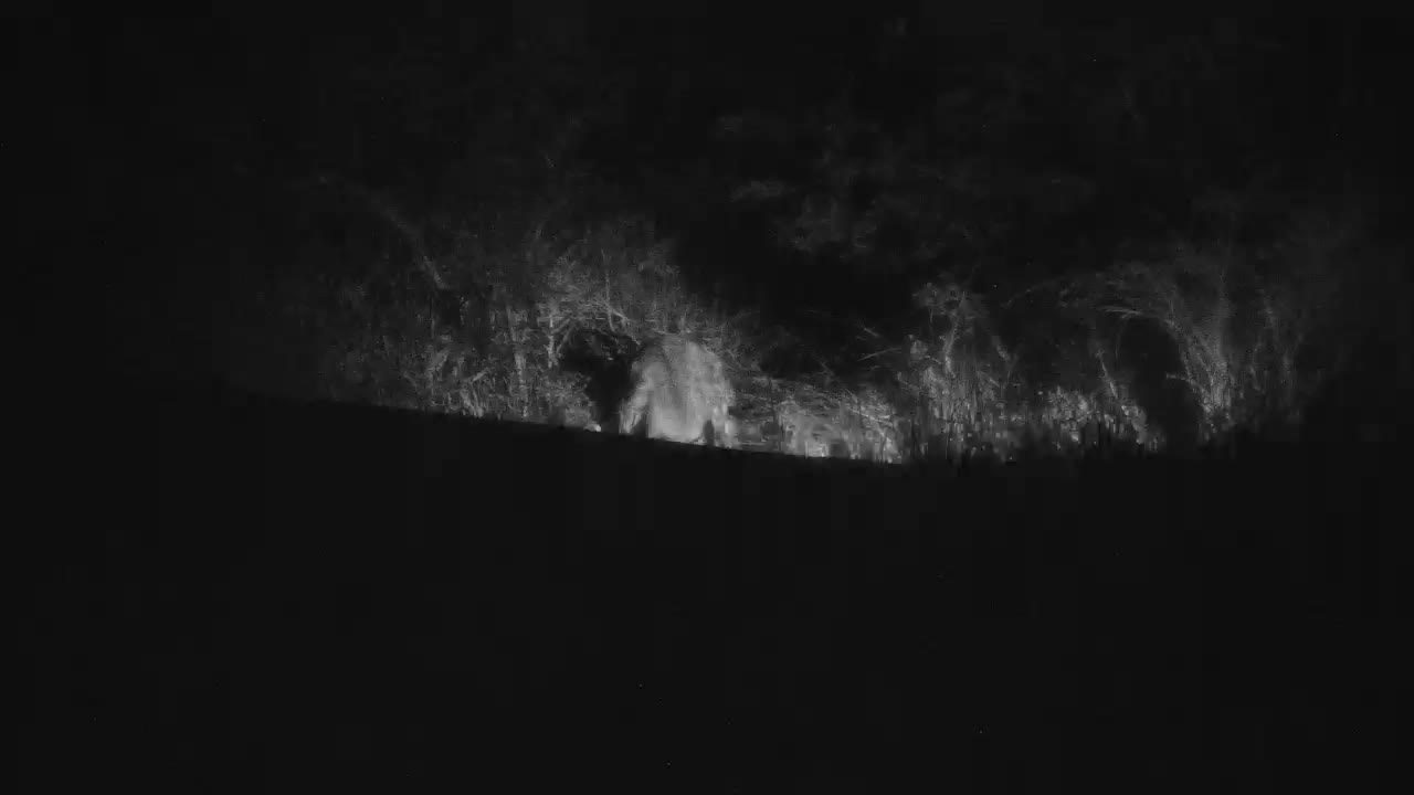 VIDEO: Hyaena eating the stolen Leopard pray