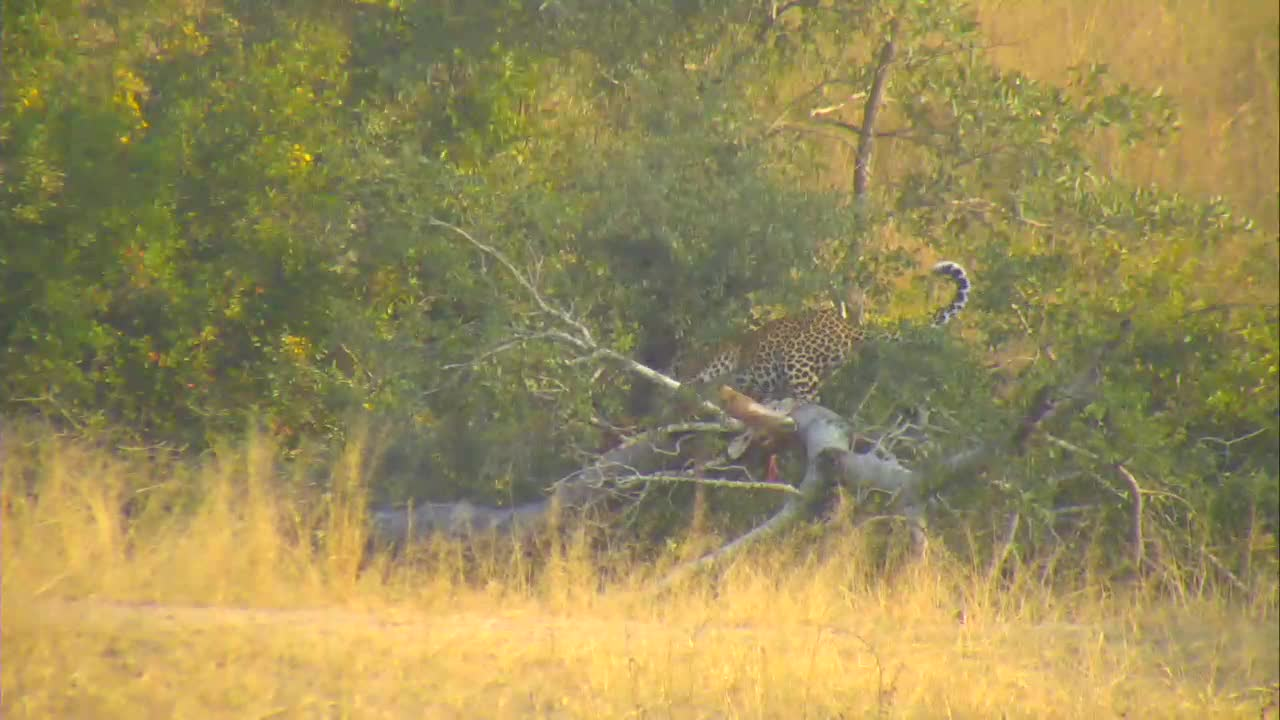VIDEO: Leopard eating a kill  (no audio and short sighting)