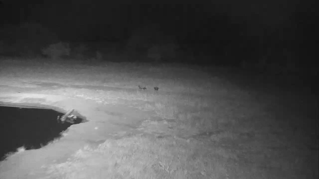 VIDEO: 2 Honeybadgers scampering  through