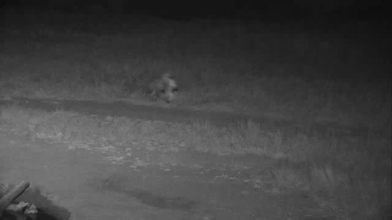 VIDEO:  Hyaena dragging a stolen impala kill