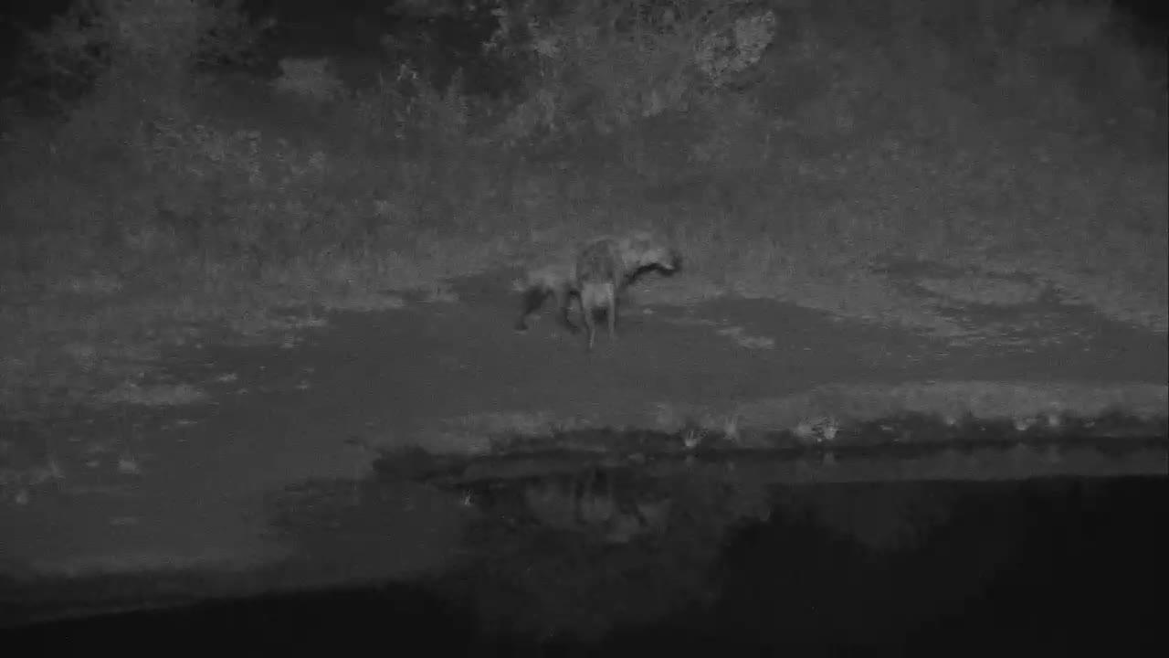 VIDEO:  Hyaenas scouting around Nkorho