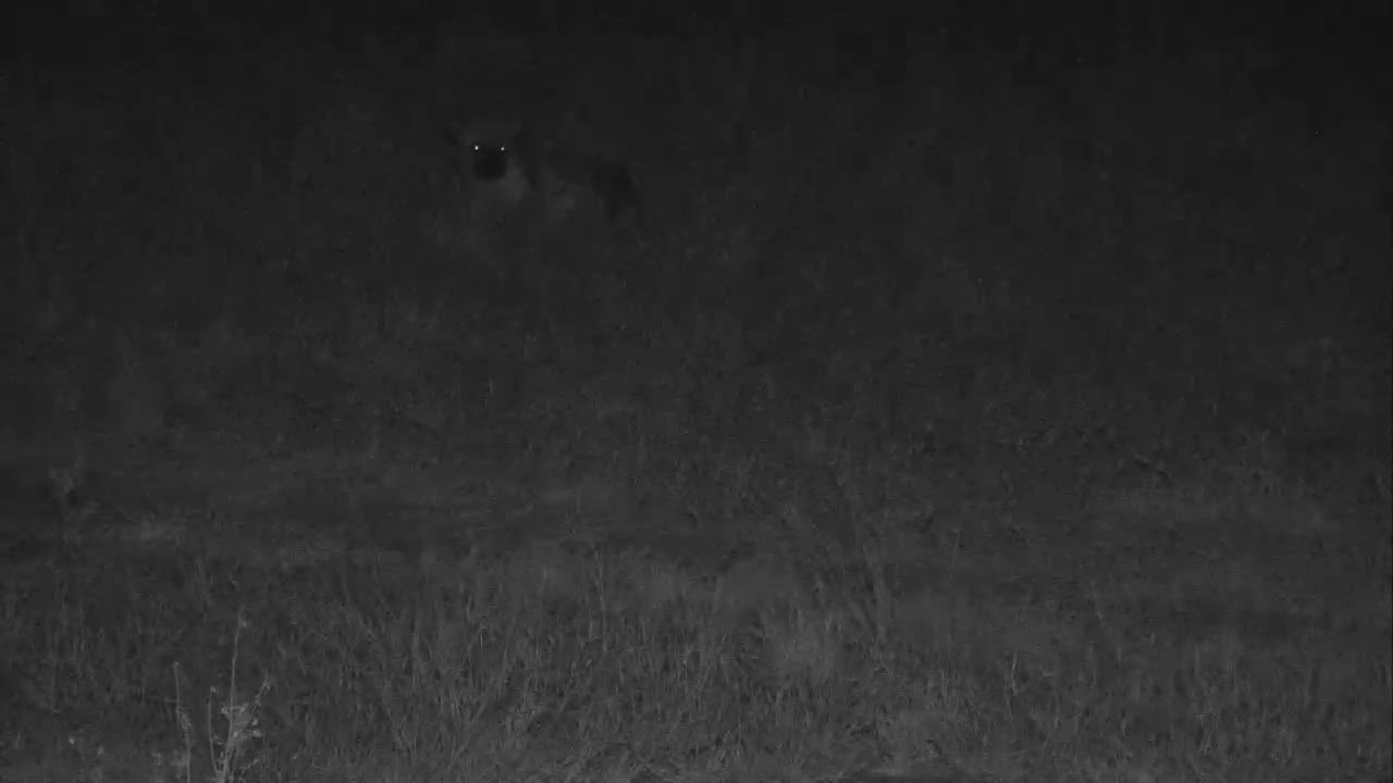VIDEO:  Hyaena taking a break from night hunting yet alert