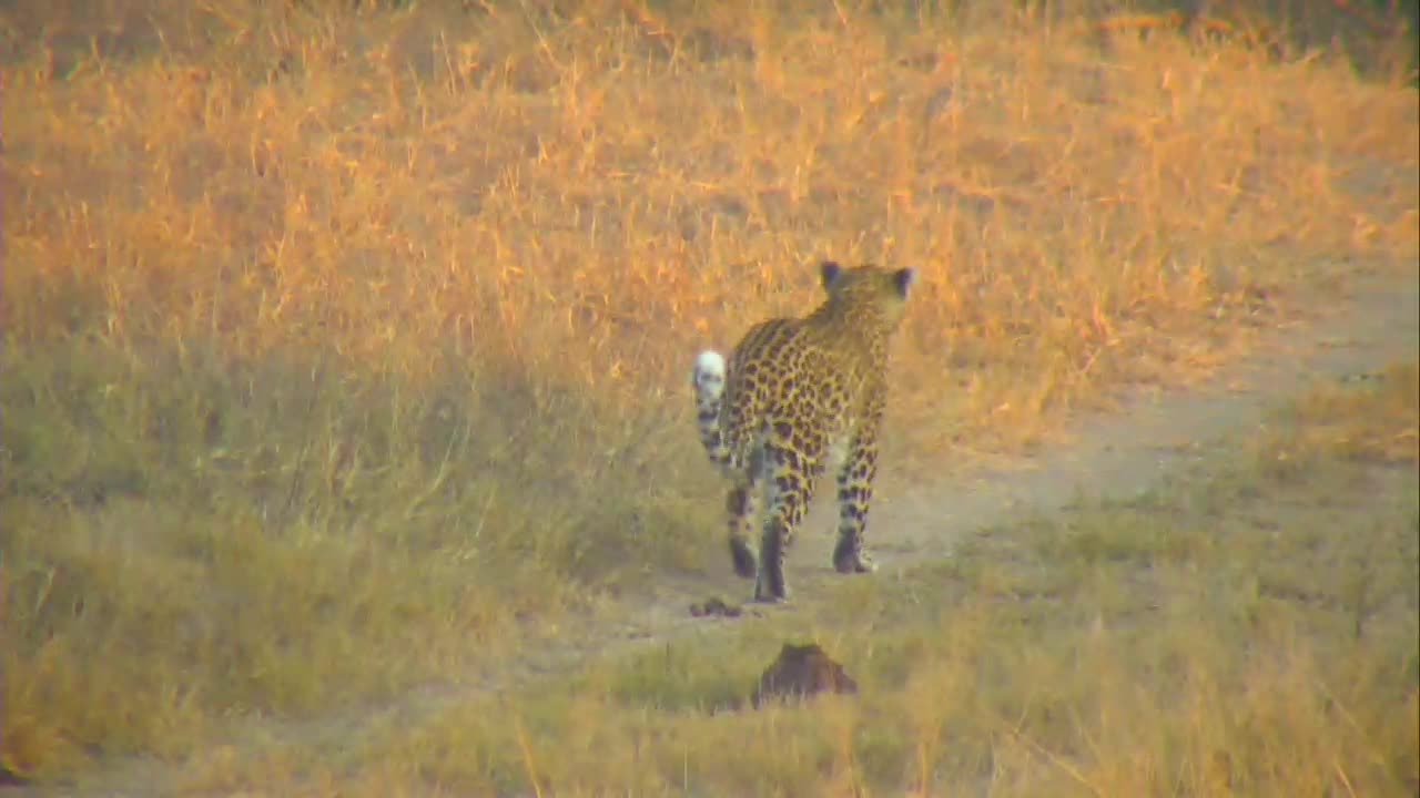 VIDEO:Leopard going from the waterhole to the drainage line