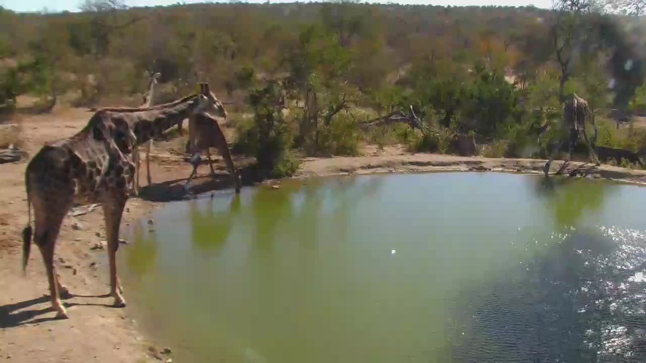 VIDEO: Herd of Giraffe drinking at Naledi