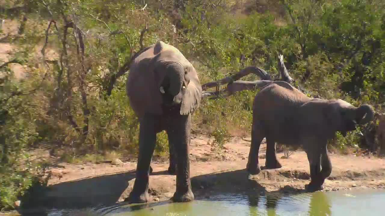 VIDEO: Small Herd of Elephants came for an extensive drink to the waterhole.