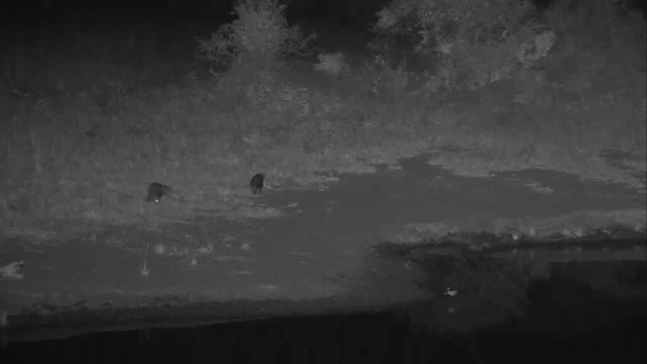 VIDEO:  White Tail Mongooses scurrying around