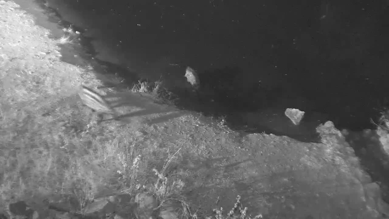 VIDEO:  2 Civets fighting, chasing one into the water  Part 2 of 3