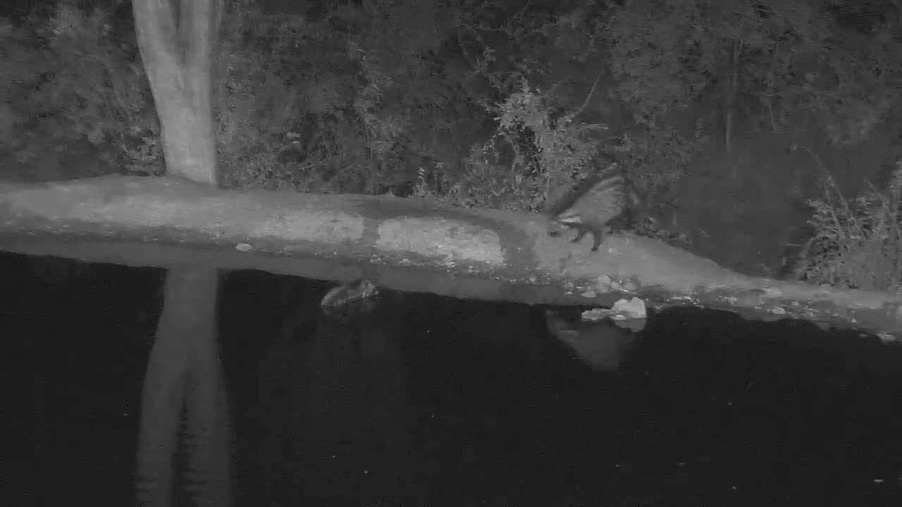 VIDEO:  2 Civets fighting, chasing one into the water  Part 3 of 3
