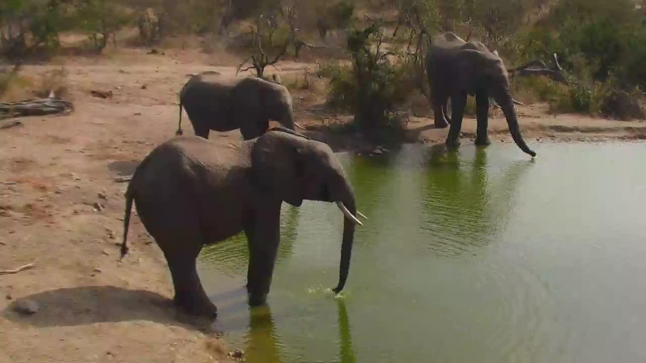 VIDEO:Elephants drinking at Naledi