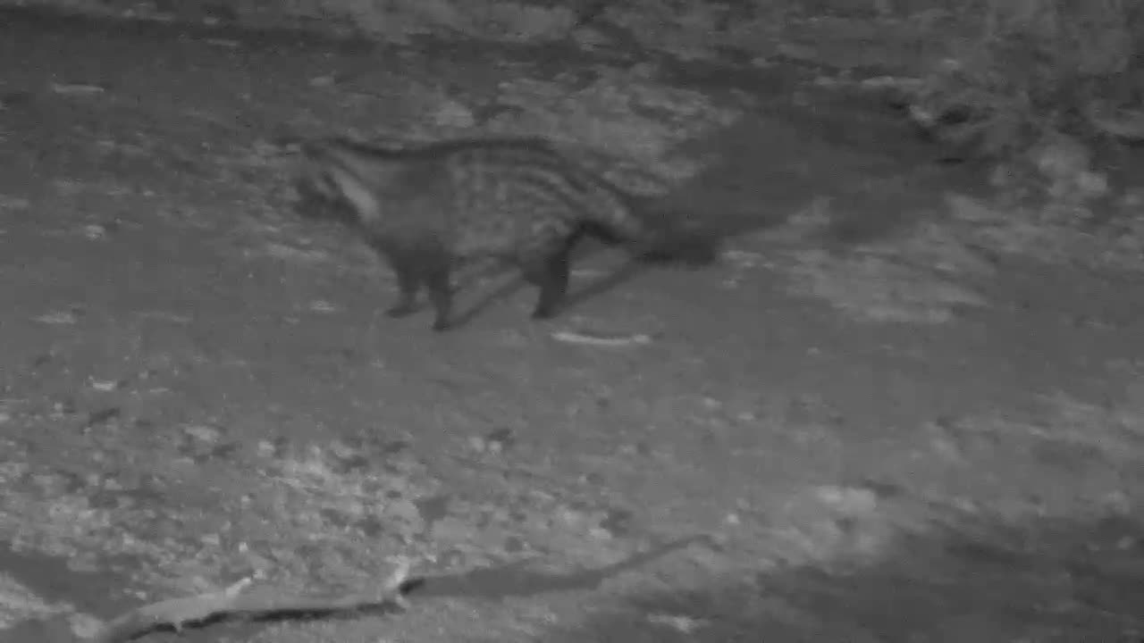 VIDEO: Civet having a quick drink before marking its territory