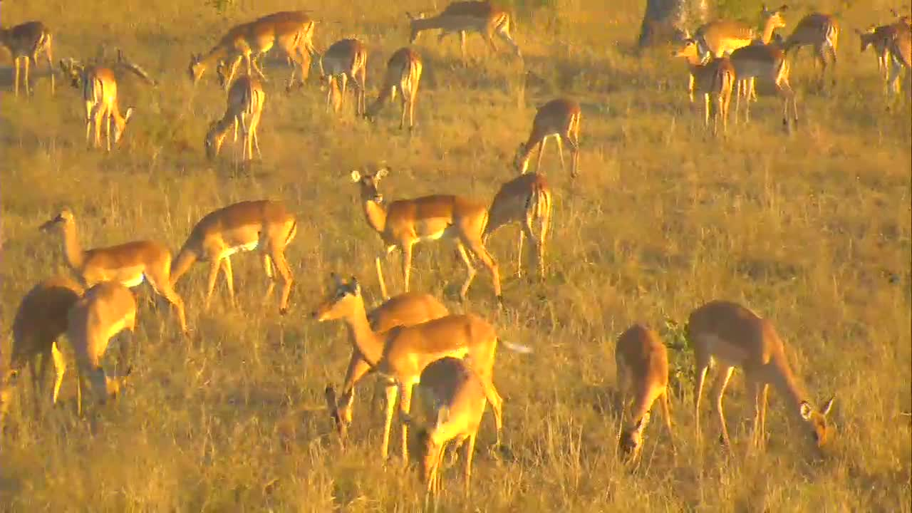 VIDEO: Impala Herd - very relaxed - grazing in the late afternoon sun.