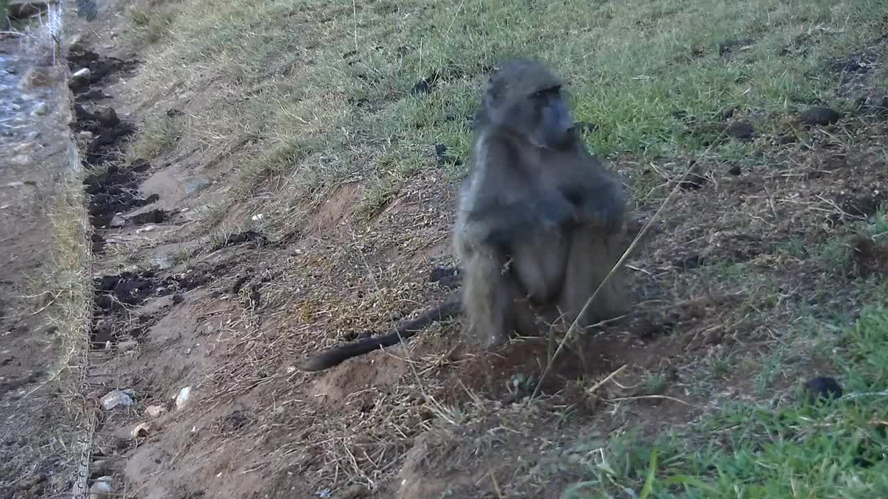 VIDEO: Baboon - very alert - digging for food at the lawn.