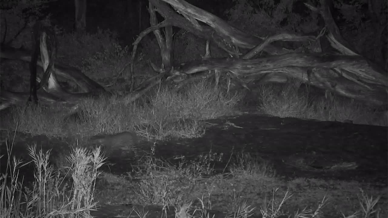 VIDEO:  A quick view of a Leopard