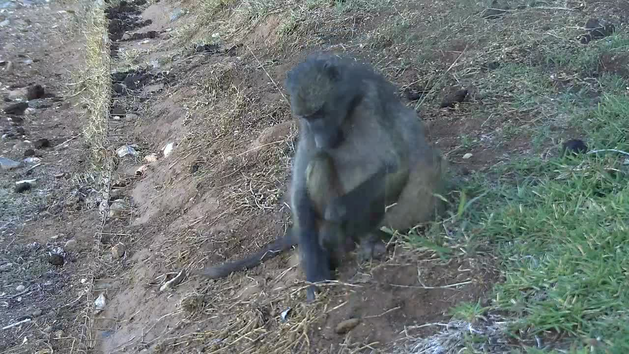 VIDEO:  Baboon looking for roots to eat