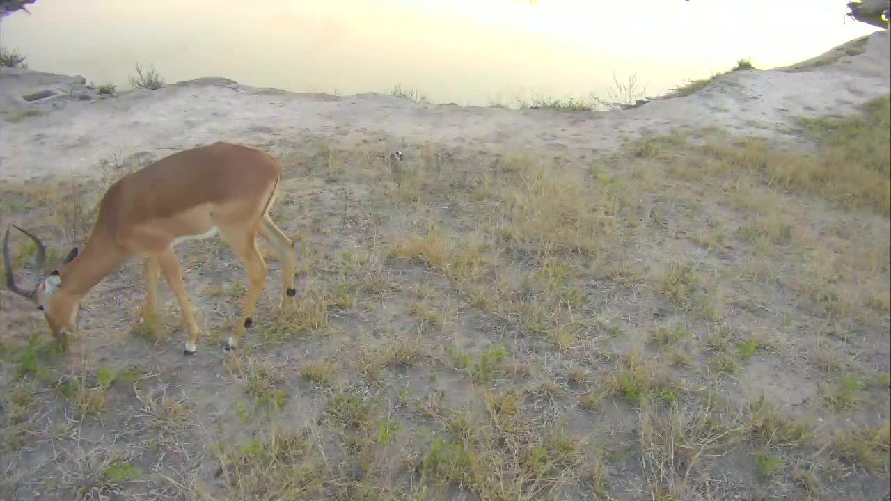 VIDEO: Brave lapwing on nest while impala walks past