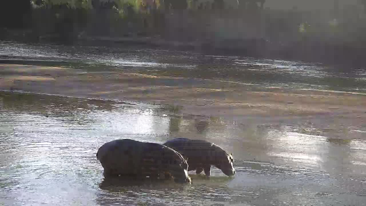 VIDEO: Two Hippos walking upstream in the river