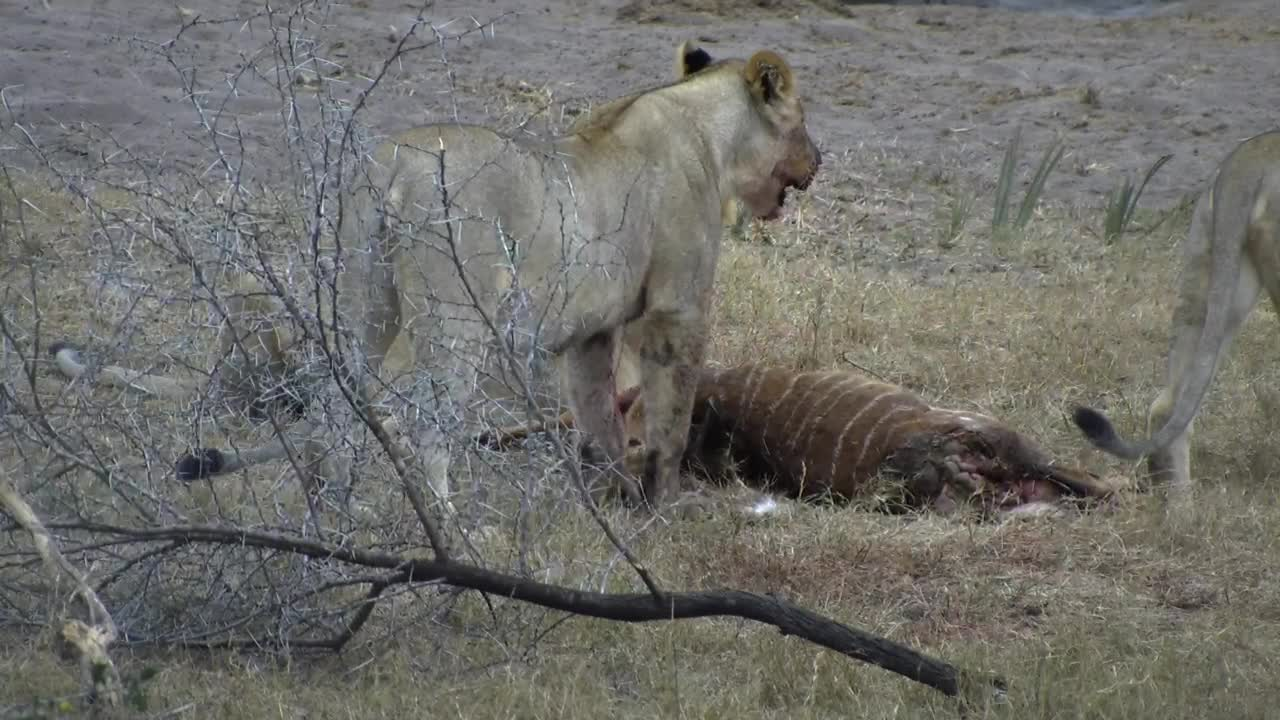 VIDEO: Lions on a Nyala kill. Part 1