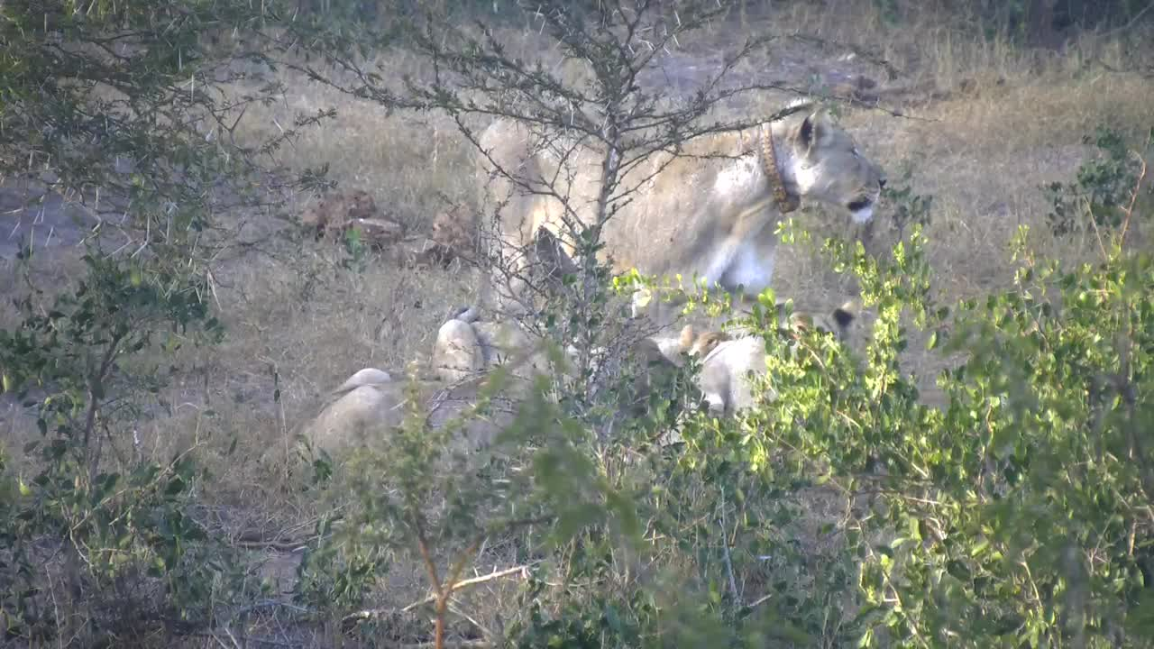 VIDEO: Lioness and 4 cubs having breakfast from a kill Part 1