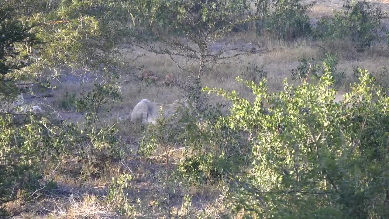 VIDEO: Lioness and 4 cubs having breakfast from a kill Part 2