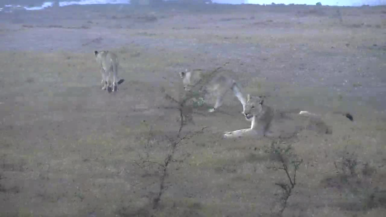 VIDEO: Lioness and her 4 cubs playing in the early morning fog
