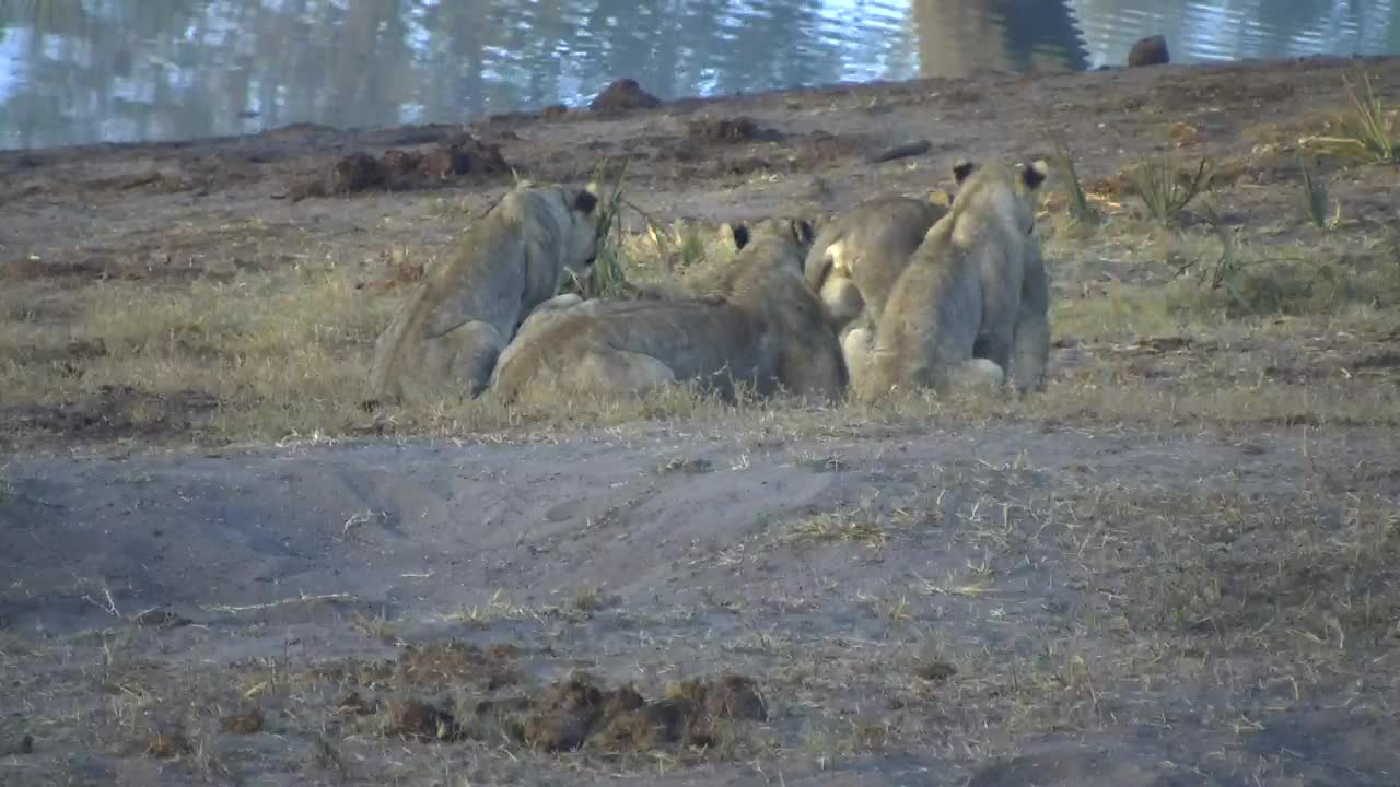 VIDEO: The fog clears from the lioness and 4 cubs then they spot something on the far side ot the waterhole...