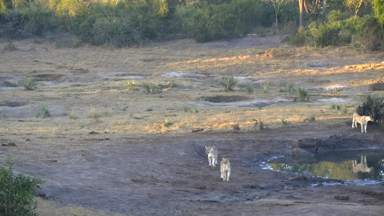 VIDEO:Lioness and her 3 cubs play in the area around the waterhole