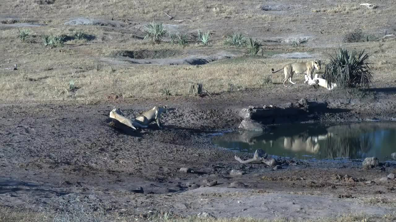 VIDEO: Lions at the waterhole seem to be on the hunt