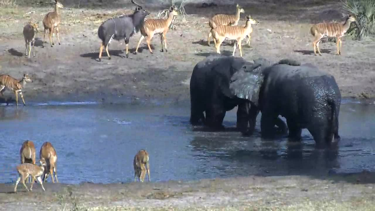 VIDEO: Two elephants play fighting in the water at TE