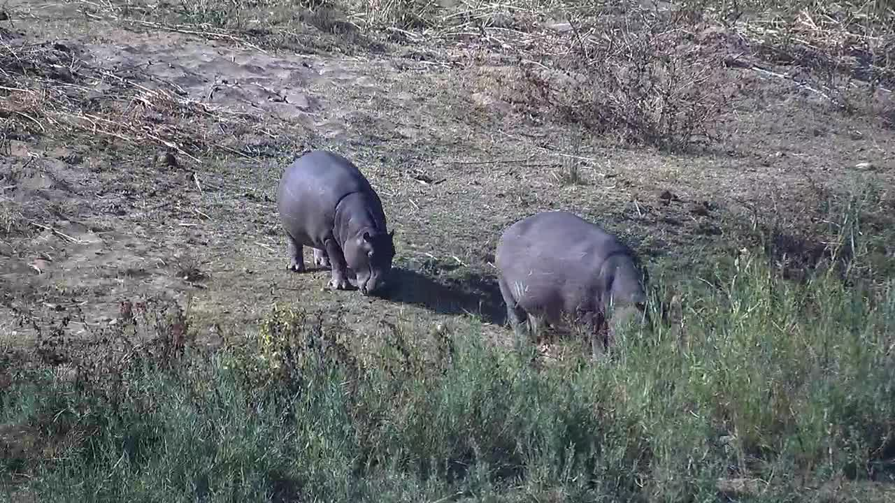 VIDEO:Hippopotamus out of the river